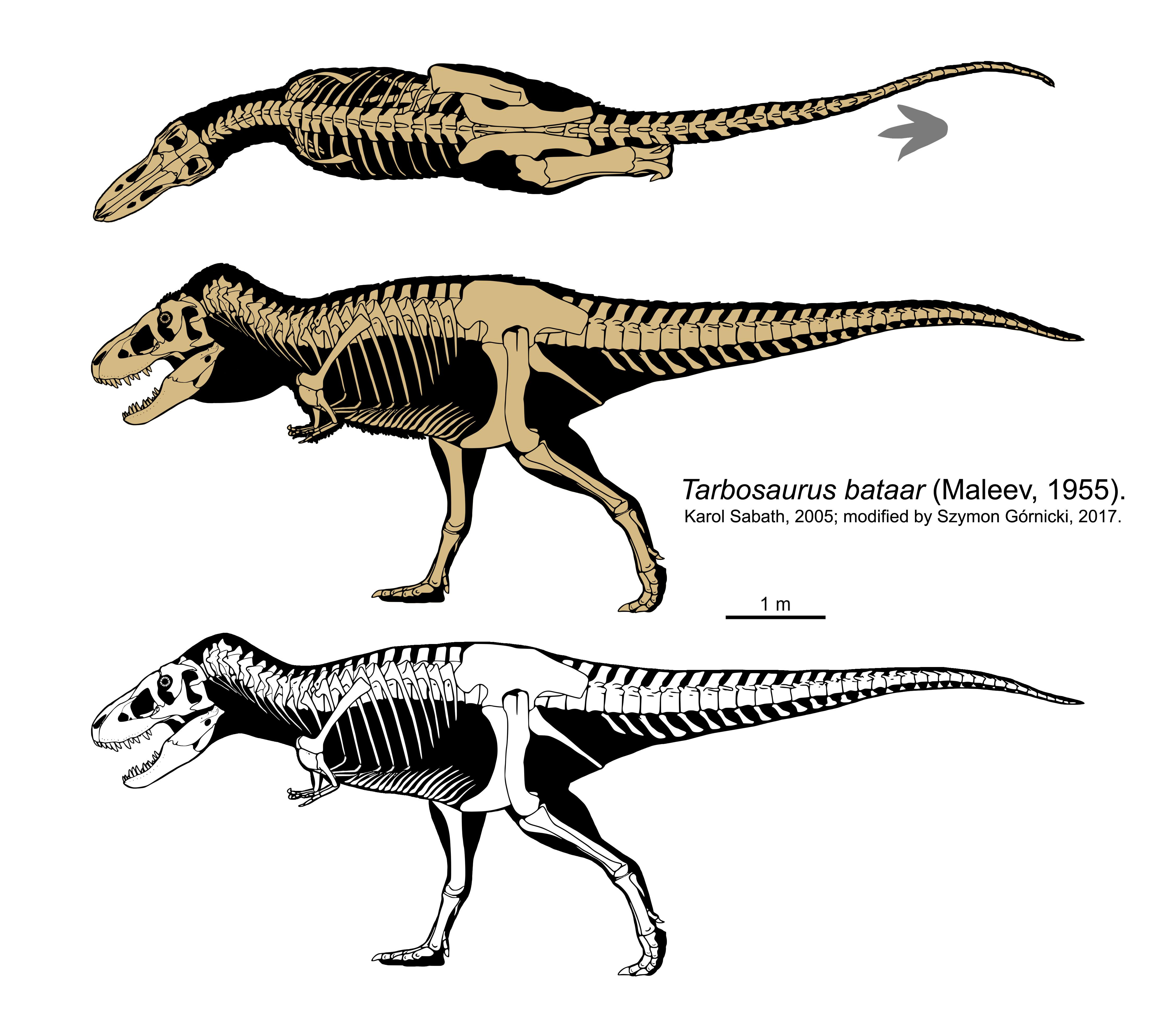 Tarbosaurus skeletal (2017).